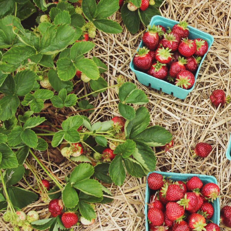 Increase Strawberry Quality