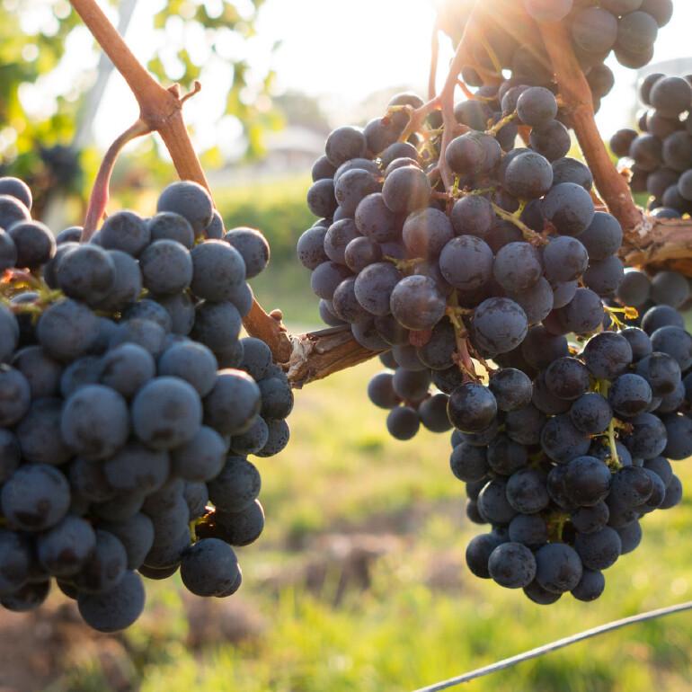 Predictive Control of Vineyards. Gain efficiencies, increase capacity and cost savings