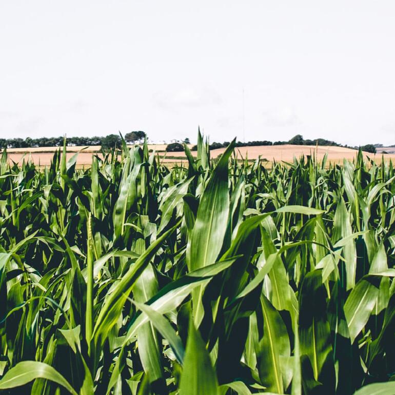 Improve Corn Growing Efficiencies